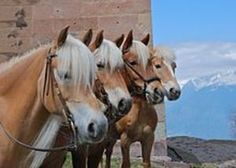 Fine examples of Halflinger horses, the breed of horse I'm now delighted to… Cheval Haflinger, Haflinger Horse, All The Pretty Horses, Beautiful Horses, Animals Beautiful, Horse Photos, Horse Pictures, Palomino, All About Horses