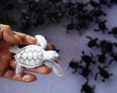 Albino baby sea turtle