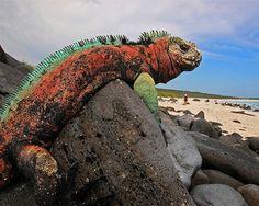 Marine Iguana Espanola Island Galapagos (by Blinkingidiot) This cool colorful guy sure seems dragonesque to me :-) Central America, South America, Latin America, Galapagos Islands Ecuador, Quito Ecuador, Marine Iguana, Giant Tortoise, New Zealand, Pantanal