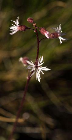 Praire Star at Whychus Canyon Preserve. Photo: Kris Kristovich.