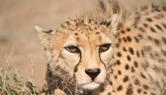 Who would like to adopt the beautiful Mr. Kushki? He is one of the few Asian Cheetahs left, and lives in captivity. His species is critically endangered and is extinct in the wild everywhere but in Iran.  Check out our website for more information!