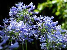 Growing Lilies, Growing Hibiscus, Hibiscus Plant, Hibiscus Flowers, Growing Dahlias, Edible Flowers, Planting Bulbs, Planting Flowers, African Lily