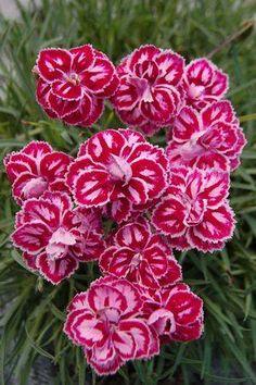 """Dianthus hybrida """"Starburst"""" Sociedad Argentina de Horticultura Desde 1936 al Servicio de la Comunidad"""