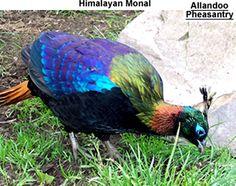 himilayan monal pheasant