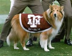Revillie - The Texas A&M Mascot