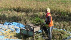 Rice harvest March, 2014 Yogyakarta, Indonesia
