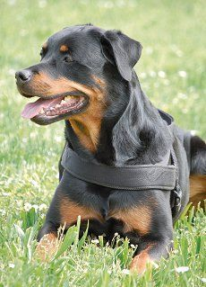 Your Dog Is Listening Your Just Not Speaking The Right Language Rottweiler Puppies Dog Breeds Rottweiler Dog Breed