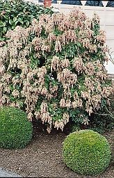 Japanese Andromeda- Pieris japonica 'Dorothy Wycoff' White Bell Flowers, Japanese Pieris, Pieris Japonica, Front Yard Plants, Trees And Shrubs, Landscape Design, Patio, Horticulture, Deer