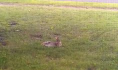 This bunny decided it was just going to relax in our front yard.