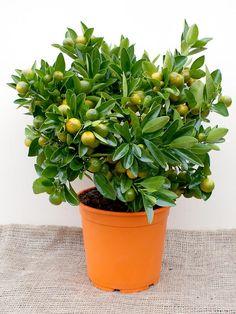 Calamondin Tree (Miniature Orange)