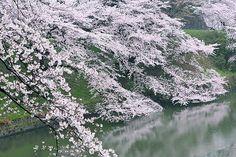 full blooming in Chidorigahuchi.   東京 千鳥ヶ淵   cate♪   Flickr