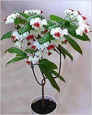 Цветы клеродендрум   Sadok33.ru