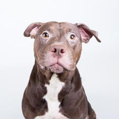 Petango.com – Meet Bissum, a 3 years 3 months Terrier, American Pit Bull / Mix available for adoption in DECATUR, GA