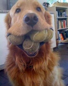 Yogi's tried to do this but he always ends up dropping the one in his mouth to pick up the one on the ground. Lol