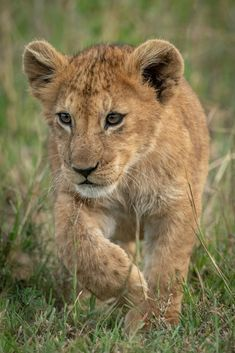 A lion cub walks through long grass towards the camera. It is lifting its right paw and staring intently. Shot with a Nikon in Serengeti National Park in Tanzania in April ISO Teddy Bear Pictures, Lion Pictures, Baby Animals Pictures, Cute Baby Animals, Lion Photography, Gopro Photography, Landscape Photography, Portrait Photography, Wedding Photography