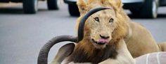 Male lion in Kruger National Park after killing a kudu bull. (Via Yahoo Travel)