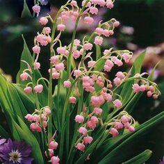 100 pcs Bell Orchid Bonsai plants, Lily Of The Valley Flower flores, Multi-Colored Orchids Campanula Bonsais Flower Pink Flowers, Beautiful Flowers, May Flowers, Colorful Flowers, Orchid Seeds, Pink Lily, My Secret Garden, Dream Garden, Garden Plants