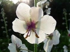 Verbascum blattaria forma albiflorum. Spires upto 1.2m hung with small white flowers from May to July.