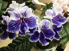 "Streptocarpus ""Feathered Silk"""