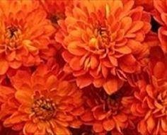 Drum - Spray (Pompoms) - Chrysanthemum - Flowers by category | Sierra Flower Finder