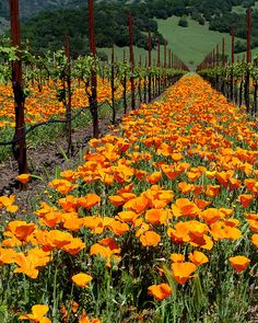Springtime in the Wine Country   Poppies in a vineyard near Kenwood, CA, on Hwy 12, between the Kenwood and Kunde wineries -- by mcastellucci