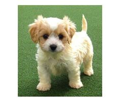 Cavachon Puppy - looks like my bud!