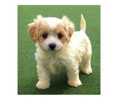 Cavachon Puppy - looks like my bud!
