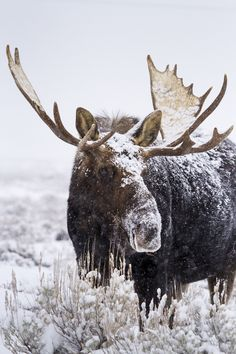 Bull moose in Wyoming
