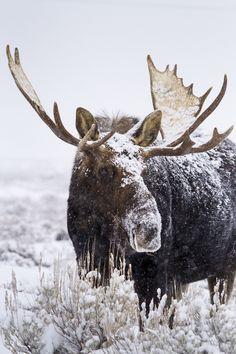 Bull moose in Wyoming