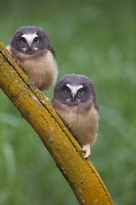 Fledgling Northern Saw-whet Owls - Photo by Paul Bannick