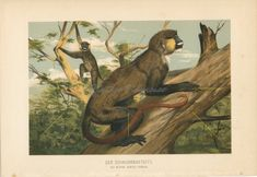 Vintage moustached #guenon print | #Monkey wall art | #vintageprint #gallerywall Antique Prints, Vintage Prints, Animal Art Prints, Primates, Old Antiques, The Book, African, Wall Art, Emperor