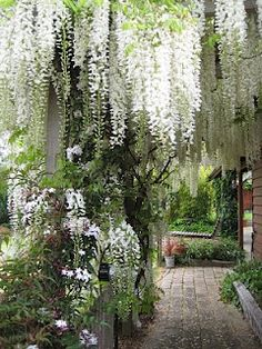 White Wisteria  -- love this so much!