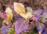 Belladonna [Atropa Belladonna, Deadly Nightshade, by Plbmak]* Deadly Plants, Poisonous Plants, Belladonna Flower, Nightshade Flower, Poison Garden, Traditional Witchcraft, Evening Primrose, Different Plants, Botanical Illustration