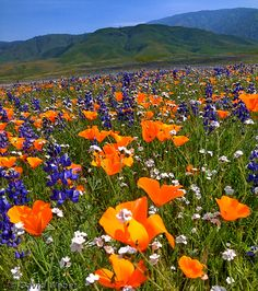 Poppies, Popcorn flowers, Lupine - California: late spring/early summer comes to the desert Beautiful World, Beautiful Places, Beautiful Pictures, Spring Flowers, Wild Flowers, California Poppy, California Wildflowers, California Travel, M Anime