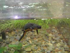 Newt - Fire Belly Amphibians, Fire, Pets, Animals, Animals And Pets, Animales, Animaux, Animais, Animal