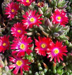 Delosperma 'Jewel of Desert Garnet' - This ice plant forms a mat of luscious, bright ever-green foliage displaying many starry, bright coloured flowers. 'Garnet' has garnet-red and bright pink petals with a white inner halo and yellow centre.