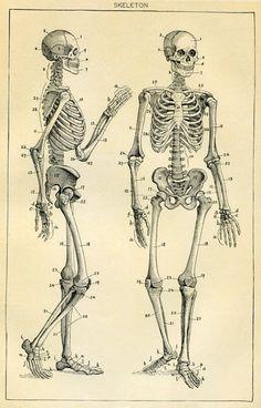 Skeleton Antique Book Plate Medical Ephemera by SkippiDiddlePaper