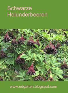 Böschung: Schwarze Holunderbeeren Fitness Motivation, Monat, Plants, Abs, Flora, Fit Motivation, Plant, Workout Motivation, Gym Motivation
