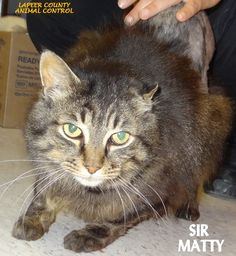 ADOPTED! Tag# 11028 Name is Sir Matty  Tabby Male-neutered Arrived with a large matt that was shaved off. GREAT CAT!!  Located at 2396 W Genesee Street, Lapeer, Mi. For more information please call 810-667-0236. Adoption hrs M-F 9:30-12:00 & 12:30-4:15, Weds 9:30-12:00 & Sat 9:00-2:00  https://www.facebook.com/267166810020812/photos/a.865334170204070.1073742172.267166810020812/865336763537144/?type=3&theater