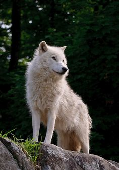"""beautiful-wildlife: """"The Guardian by WolvesOnly """""""