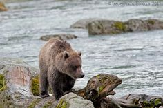 This is a great blog about adventures in the Yukon. Outstanding photos of grizzlies in #Alaska.