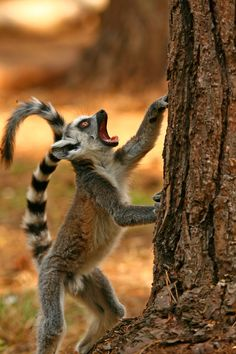 Come down!!  Ring-tailed lemurs are primates endemic to the island of Madagascar