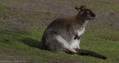 Bennett's wallaby | denlArt