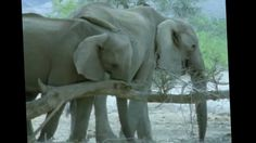 Echo of the Elephants: Africa's Forgotten Elephants (BBC Natural World 1...