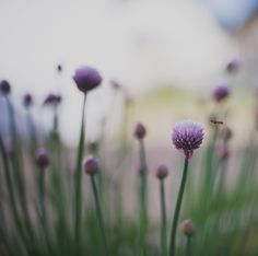https://flic.kr/p/eh5xH6 | Meanwhile, in my yard... | I just love chives. And it is quite rich in flowers this year. Prepare to be flooded by the photos of it.