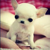 Freddy's Teacup Puppy...awww