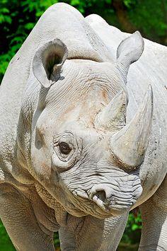 Female rhino portrait