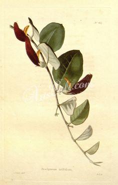 brachysema latifolium      ...