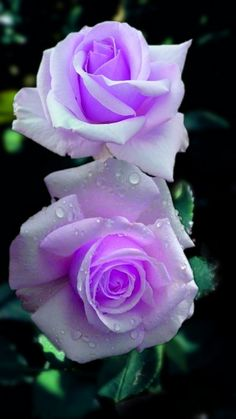 Purple rose with water reflection Beautiful Flowers Wallpapers, Beautiful Rose Flowers, Rare Flowers, Exotic Flowers, Amazing Flowers, Lavender Roses, Purple Flowers, Yellow Roses, Rosa Rose