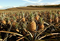 Maui Pineapples!  Maui Gold are by far the sweetest of all pineapples. Buy them on Maui and have them shipped home. Sweet Maui onions can be shipped in the same box.